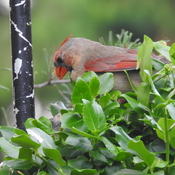 Young Cardinals being fed by both parents