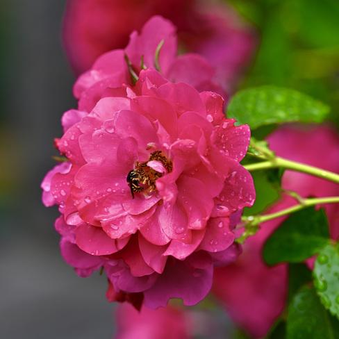 Abeille sur fleur Gatineau, QC