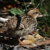 2021-06-18- Older Quail Chick at Esquimalt Lagoon