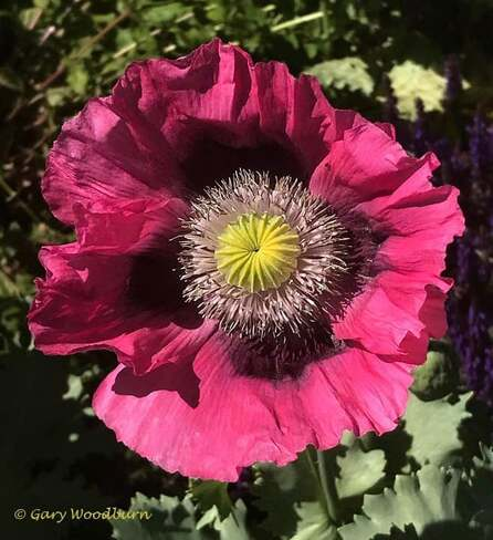 2021-06-18 - Eye of the Poppy in Colwood BC Colwood, BC