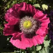2021-06-18 - Eye of the Poppy in Colwood BC