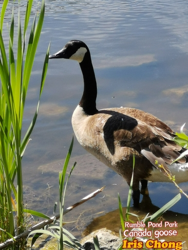 June 19 2021 26C The lonely goose - Rumble Pond Park - Richmond Hill Richmond Hill, ON