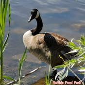 June 19 2021 26C Good morning! Nice day! - Thinking- Goose in Rumble Pond Park
