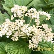 Rodgersia perennials