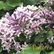 Fragrant Dwarf Lilacs