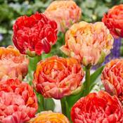 Gigantic Tulips