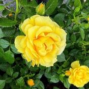 ADRIANE'S ROSE