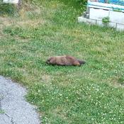 7:26 p.m. marmot