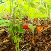 First wild strawberry this year.