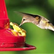 Colibri Wow