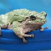Grenouille dans ma piscine