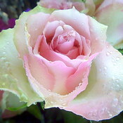 The Beauty of a Rose