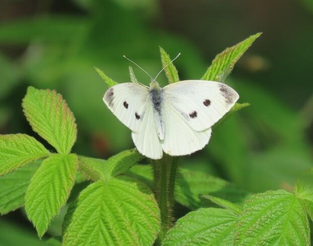 Butterfly London, ON