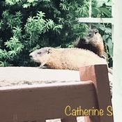 Meet our condo neighbours The Groundhogs