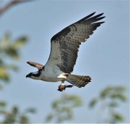 osprey with his lunch Tilbury, Chatham-Kent, ON