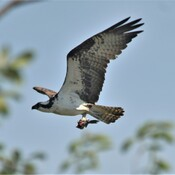 osprey with his lunch