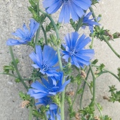 Chicory Wildflower