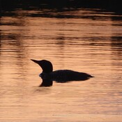 A beautiful sunset and the loon