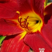 June 20 2021 26C Core beauty - Red Daylily embrace the sun! Thornhill