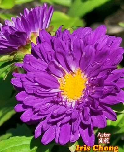 June 20 2021 26C Gorgeous purple Asters embrace the sun! Thornhill Thornhill, ON
