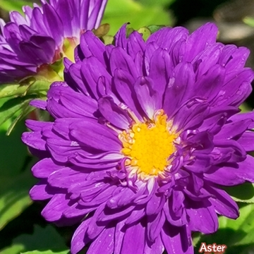 June 20 2021 26C Gorgeous purple Asters embrace the sun! Thornhill