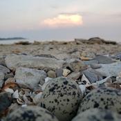 Killdeer eggs at the beach