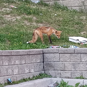 Pizza Hungry Fox