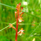 Wild Round-leaved Orchid