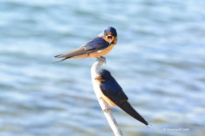 Swallow couple at Tommy Thompson Park Toronto, ON
