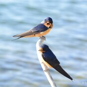 Swallow couple at Tommy Thompson Park