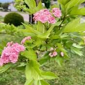 l'aubépine en fleurs