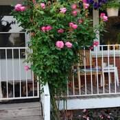 beautiful roses 2021
