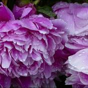 Wet peonies flowers, Elliot Lake.