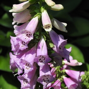 Foxgloves are just a Bloomin in New Dundee