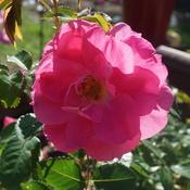 Rose in full bloom.