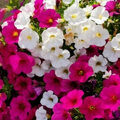June 21 2021 26C Delight Petunias - Welcome First day of summer! :)Thornhill