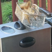squirrel trying to lick oil