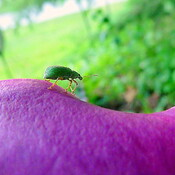 Pale Green Weevil Beetle Taking Walk on Calla Lilly Flower