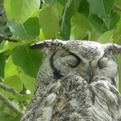 Young and not so young Great Horned Owls