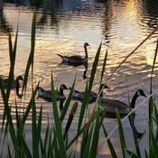Canadian Geese family swim