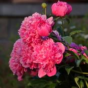 Peonies in my garden