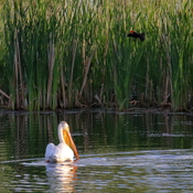 American white pelican and red-winged blackbird
