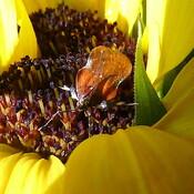 Apple Moth Taking Refuge in Sunflower