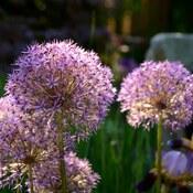Flower garden at St. Martin in the Fields
