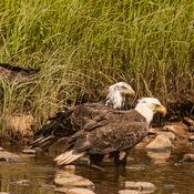 Fishing Eagles