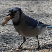 Blue jays love peanuts