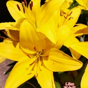 June 22 2021 16C Nice day!:) Pretty Yellow Lilies in Thornhill