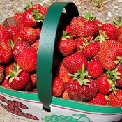 Picking strawberries at Fosters family farm in Midland, Ont.