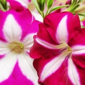 June 22 2021 16C Welcome summer! Beautiful Petunias in Thornhill