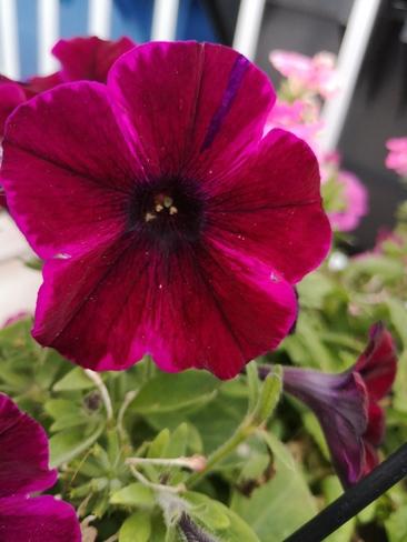 fleur du jour Saint-Louis-de-France, QC